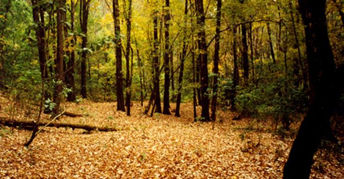 bosque de arce Talpa