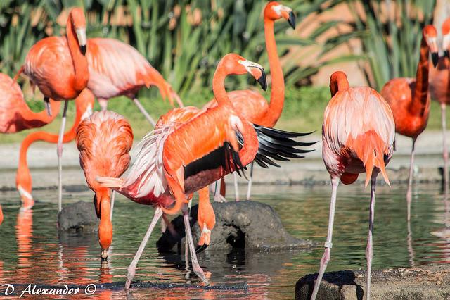 Zoologico de guadalajara - Flamingos
